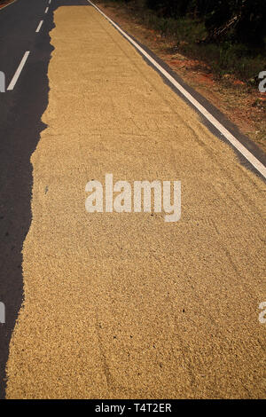 rice drying on the road near sigiriya rock in the cultural triangle ofsri lanka - Stock Image