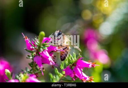 Honey Bee feeding off a Heather flower. - Stock Image