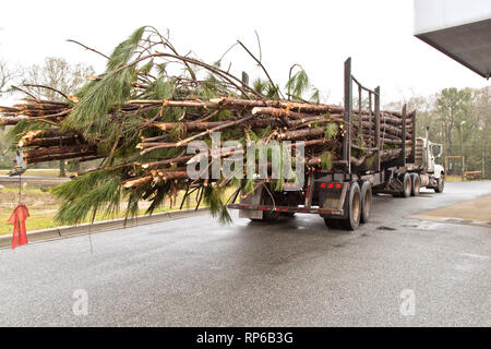 Logging truck hauling freshly harvested Southern Long Leaf Pine logs 'Pinus palustris'  to mill. - Stock Image