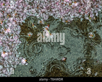Cherry tree blossoms on the sidewalk during the rain - Stock Image