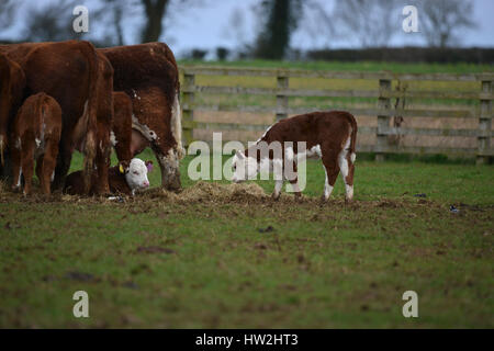 Hereford cows and calves on a farm near the north Oxfordshire village of Hook Norton - Stock Image
