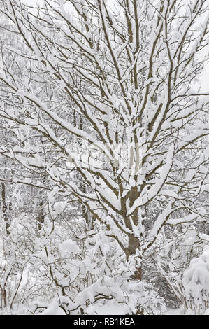 Snowy winter trees, fresh new snow covered branches after blizzard snowstorm, heavy snowfall drifts multiple tree twigs detail large detailed vertical - Stock Image
