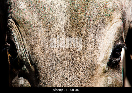 Frontal portrait of ox, Amazon rainforest, Brazil. - Stock Image