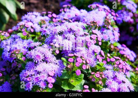 Ageratum violet - Stock Image