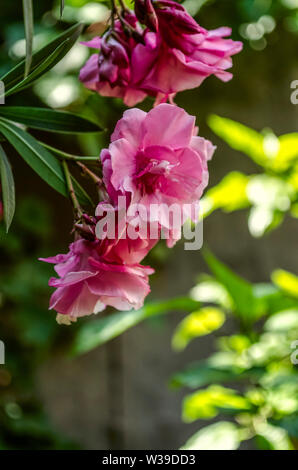 Beautiful pink clusters of large flowers of terry Oleander on the background of sun-drenched green trees - Stock Image
