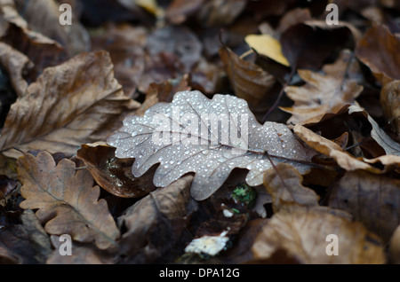 Autumnal fallen leaves covered with glistening morning dew drops. - Stock Image