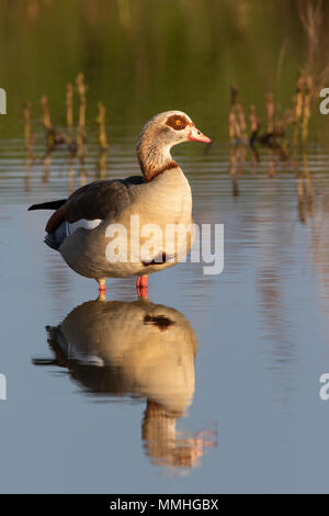 Egyptian Goose (Alpochen aegyptiacus) and its reflection in a shallow pond - Stock Image