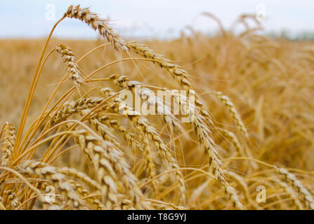 Gold wheat field and blue sky - Stock Image