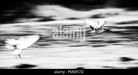 African sacred ibis in flight.  Black and white panned image. - Stock Image