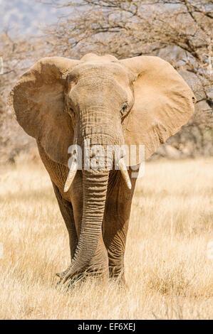 A bull African elephant in Samburu, Kenya. - Stock Image
