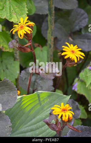 Close up of Ligularia 'Britt-Marie Crawford' in a damp flower border - Stock Image