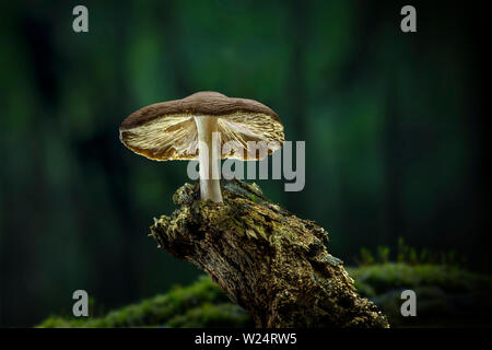 Lone mushroom growing on rotten tree branch in forest - Stock Image