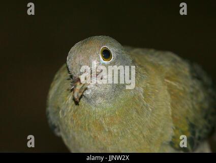 Female Southeast Asian Black-naped Fruit Dove (Ptilinopus melanospilus) in close up. - Stock Image