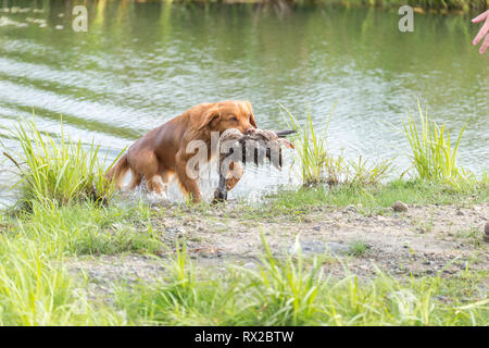 Nova scotia duck toller walks with a duck in it's mouth after a successful hunt Ontario, Canada - Stock Image