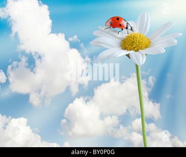 ladybug on a white flower isolated on white - Stock Image