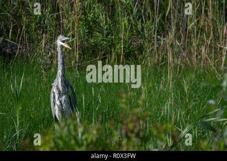 Grey Heron (Ardea cinerea) with beak open looking as if yawning - Stock Image