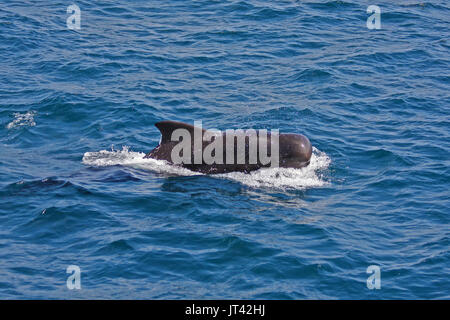 Short-finned Pilot Whale (Globicephala macrorhynchus) getting close to the dolphin watching boat in the Maldives - Stock Image