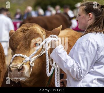 Exeter, Devon, UK. 16th May 2019 Cattleout in the show ring on the first day of the Devon County Show, at the Westpoint Showground, Exeter Credit: Photo Central/Alamy Live News - Stock Image