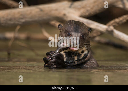A Giant Otter enjoys a catfish in North Pantanal. - Stock Image
