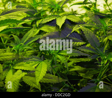Medical Marijuana Cultivation - Stock Image