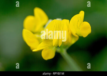 Meadow Vetchling (lathyrus pratensis), close up of a solitary flower head with low depth of field - Stock Image