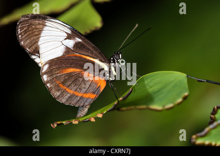 Cydno Longwing Butterfly - Stock Image