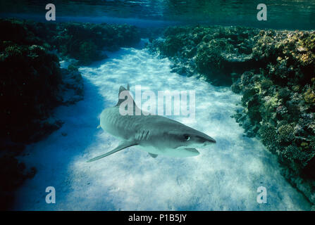 Tiger Shark (Galeocerdo cuvier), Egypt - Red Sea.   Image digitally altered to remove distracting or to add more interesting background. The main subj - Stock Image
