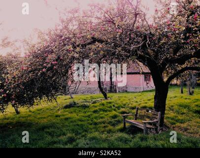 Old apple tree in Orchard - Stock Image
