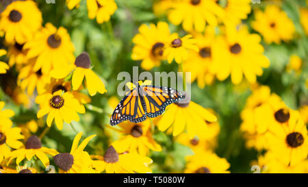 Monarch butterfly (Danaus Plexippus) feedling - surrounded by yellow flowers - top view with wings spread - Stock Image
