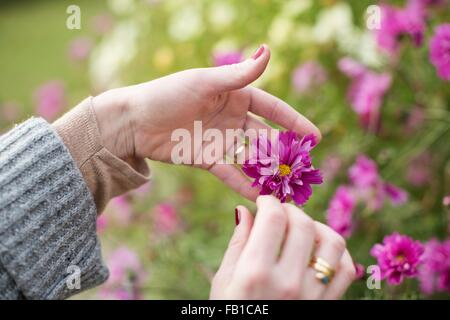 Close up of womans hands tending flower in organic garden - Stock Image