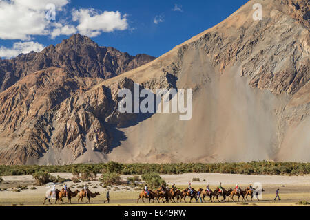 Bactrian or double humped camels, Nubra Valley, Ladakh, India - Stock Image