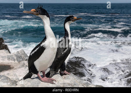 King Cormorant - Stock Image