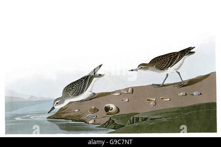 Semipalmated Sandpiper, Calidris pusilla, birds, 1827 - 1838 - Stock Image