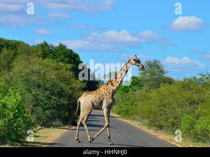 Giraffe with oxpecker birds on its neck who feed on the giraffe''s ticks ,crossing the road near Satara - Stock Image