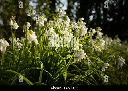 European native wildflower Three Cornered Garlic (Allium triquetrum) in a woodland setting. - Stock Image