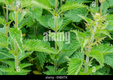 Common stinging nettle Urtica dioica - Stock Image