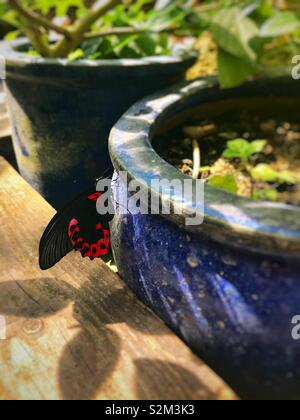 Vibrant red and black butterfly, perching on a tired blue pot. - Stock Image