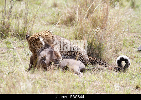 A PANICKED warthog's desperate struggle to escape from the clutches of a hungry pregnant leopard has been captured in a series of stunning action shots. Incredible images show the 130-pound leopard stalking its prey in a thicket of bushes before the warthog becomes aware it is about to become dinner and makes a run for it. Unfortunately for the warthog his speed is no match for that of the predator who quickly catches up and pounces before enjoying a well-earned meal. The striking encounter was captured at Maasai Mara, Kenya, by camp manager Peter Thompson (29) from Townsville, Australia. Pete - Stock Image