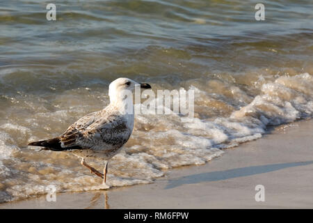 Baltic Sea wave and one seagull. Cold waters of the Baltic Sea, sandy beaches and gulls that often visit these areas, which is easily observed in Kolo - Stock Image