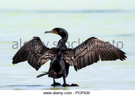 Double-crested cormorant - Phalacrocorax auritus - Stock Image
