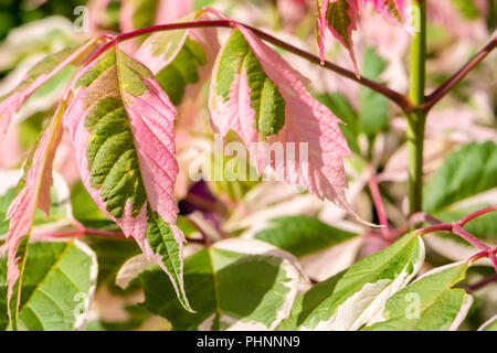Acer negundo 'flamingo' variegated leaves, UK. - Stock Image