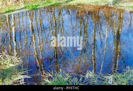 Reflections of Silver Birch, Betula pendula, in a pond in the SSSI location at Alderford Common, Norfolk, England, United Kingdom, Europe. - Stock Image
