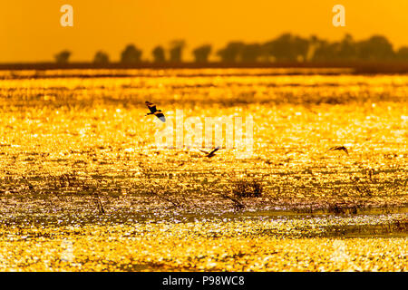 Birds fly over a golden Chobe River at sunset.  Botswana - Stock Image