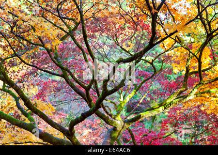 Autumn leaves, Westonbirt Arboretum, Gloucestershire, UK - Stock Image