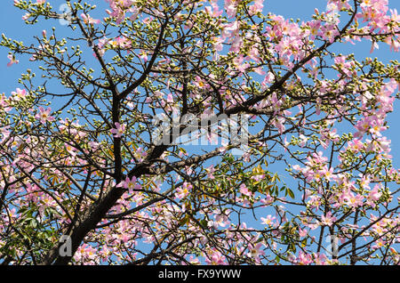 canopy of ceiba speciosa tree with pink flowers - Stock Image