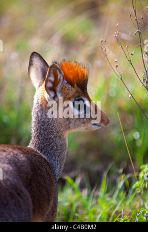 Tanzania, Serengeti. A young dik-dik. - Stock Image