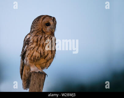 Wild Tawny Owl (Strix aluco) perched on wooden post early morning, Warwickshire - Stock Image