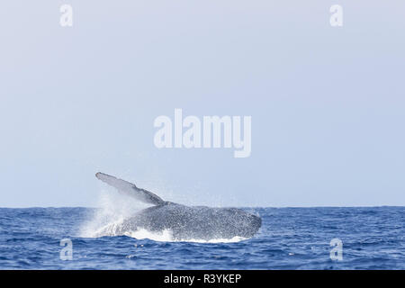 Humpback Whales (Megaptera novaeangliae), near Kona, Big Island, Hawaii - Stock Image