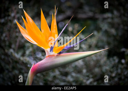 The Yellow Bird of Paradise flower - Strelitzia reginae 'Mandela's Gold', in Kirstenbosch Garden in - Stock Image