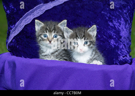 Domestic Cat, Two Kitten Sitting in Basket, Lower Saxony, Germany - Stock Image